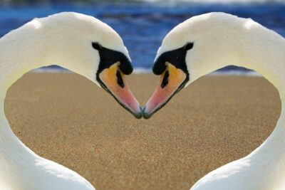 Zwanen als hart die staan voor de verbinding met jezelf als een spiegel